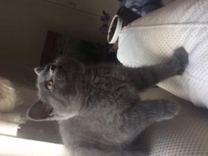 Yıldızevler Mah. kedi ilanı ver