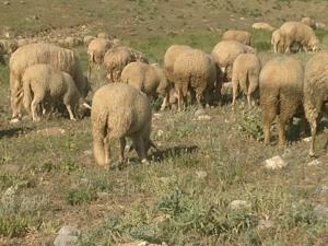 Mevlütlü Köyü hayvanlar ilanı ver