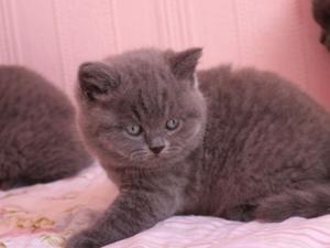 Altınkum Mah. kedi ilanı ver