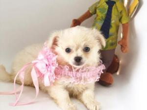 Chihuahua Dişi köpek