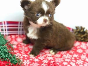 Chihuahua köpek Pendik