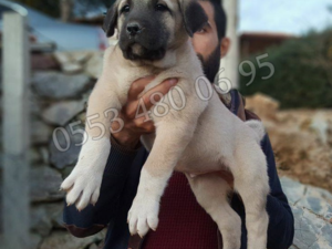 köpek Kangal fiyatları