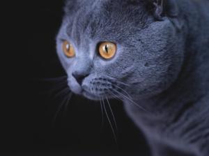 British shorthair kedi Çankaya