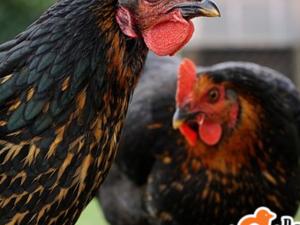 Kuva-İ Milliye Mah. hayvanlar fiyatları
