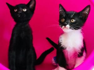 Diğer kedi ırkı Daha önce hayvan bakanlara