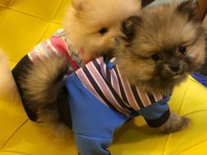 Pomeranian Dişi ve Erkek Yeşilyurt Mah.