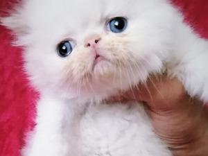 İran Dişi ve Erkek kedi