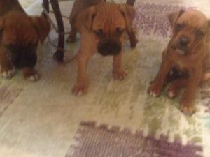 köpek Boxer fiyatları
