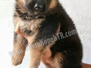 Cumhuriyet Mah. köpek ilanı ver
