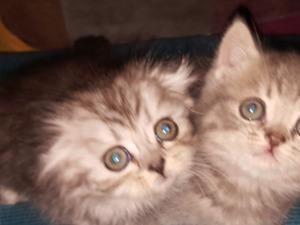 kedi ilanlari Kurtköy Mah.