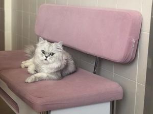 Chinchilla kedi Çukurova