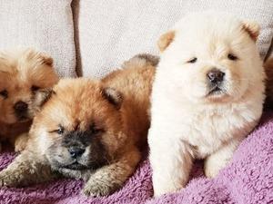Fevzi Çakmak Mah. köpek fiyatları