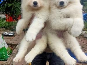 Samoyed Dişi ve Erkek köpek