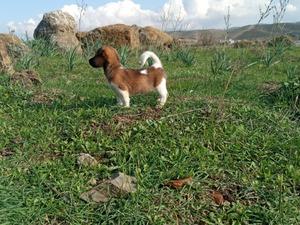 Jack Russel terrier Sahibinden Bademler Köyü