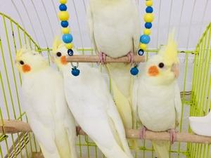 Bahçelievler Mah. Papağan fiyatları