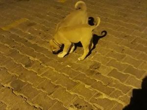 Kangal köpek Midyat