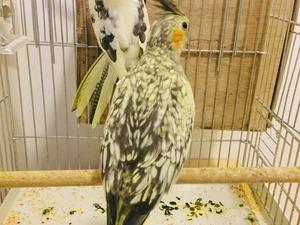 Sultan papağanı ilanı