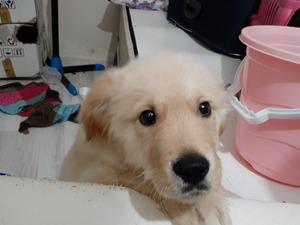 köpek Golden retriever fiyatları