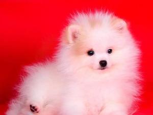 Pomeranian köpek Bakırköy