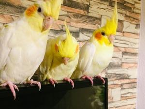 Sahibinden Dişi ve Erkek Papağan Öğretmen Evleri Mah.