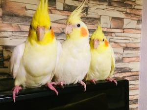 Sultan papağanı 0-3 Aylık