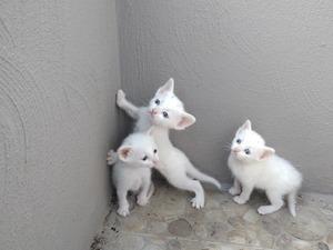 Ahlatlıbel Mah. kedi fiyatları