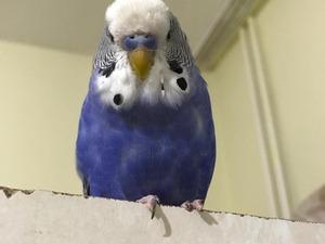 Yerli muhabbet kuşu Erkek Muhabbet
