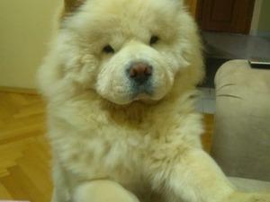 köpek Chow Chow fiyatları
