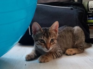Tekir kedi Osmangazi