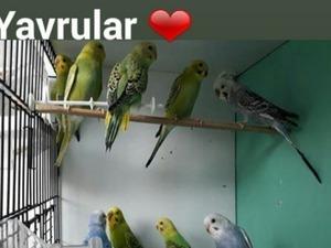 Yerli muhabbet kuşu Dişi ve Erkek Muhabbet