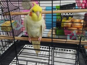 Sultan papağanı Sahibinden 1 TL