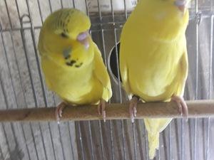 Jumbo / Show jumbo muhabbet kuşu Erkek Muhabbet