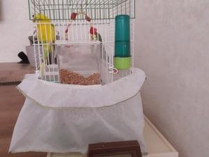 Diğer muhabbet kuşu Sahibinden 350 TL