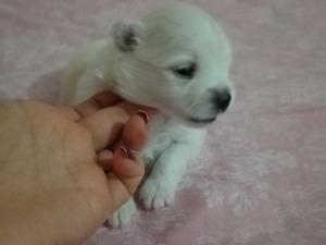 Pomeranian Dişi ve Erkek köpek