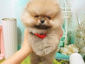 Pomeranian ad_hayvan_kimlere_uygun
