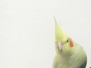 Sultan papağanı 6-12 Aylık Sultançiftliği Mah.