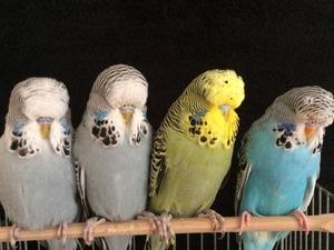 Sahibinden Jumbo / Show jumbo muhabbet kuşu Muhabbet fiyatları