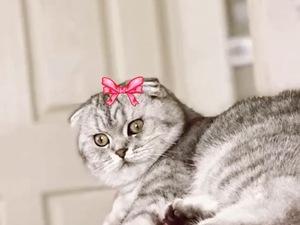 Scottish fold Dişi kedi