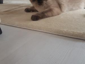 Scottish fold Erkek kedi