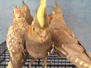 Öğretmen Evleri Mah. Papağan ilanı ver