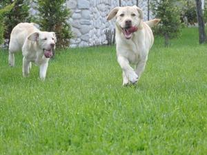 Labrador yaş 3-6 Aylık