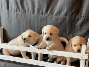 Labrador yaş 0-3 Aylık Yahyakaptan Mah.