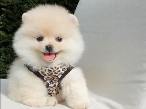 Pomeranian köpek Ataşehir