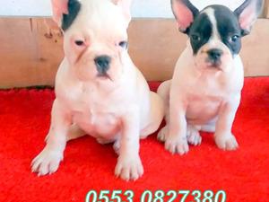köpek French bulldog fiyatları