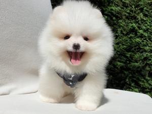 Pomeranian Eğitimli