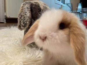 Lop tavşan Başiskele