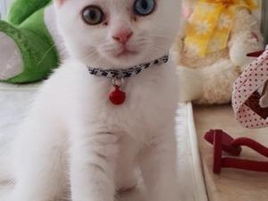 British shorthair kedi Nilüfer