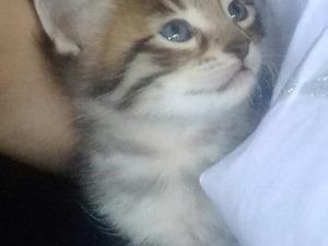 Şenlik Mah. kedi ilanı
