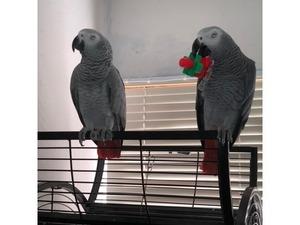 Afrika gri papağanı / jako papağanı Sahibinden Akören