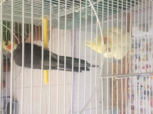 Bağlarbaşı Mah. Papağan ilanları